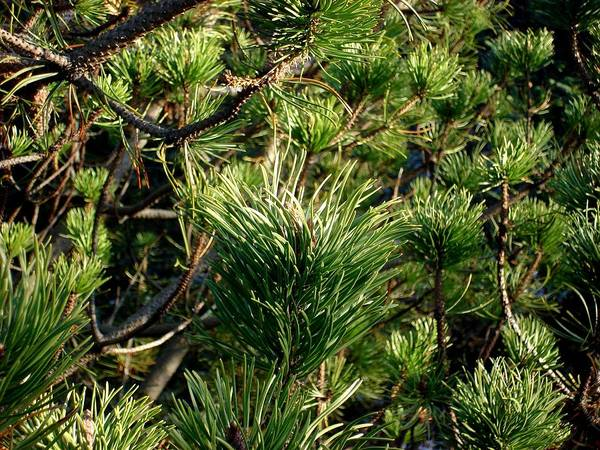 Nature Poster featuring the photograph In The Pines by Marilynne Bull