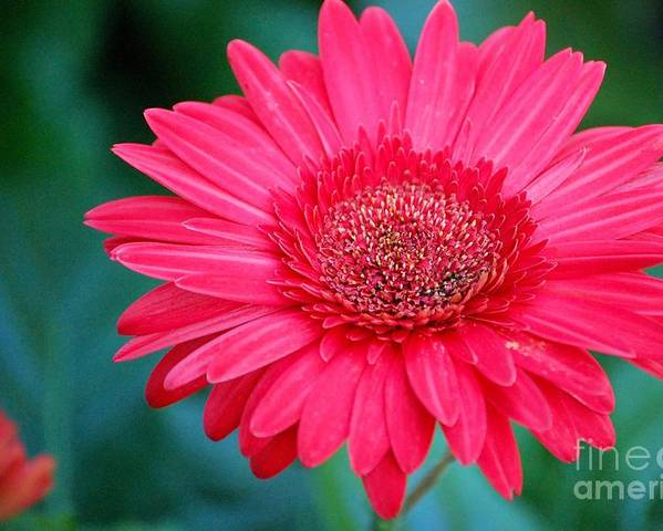 Gerber Daisy Poster featuring the photograph In The Pink by Debbi Granruth