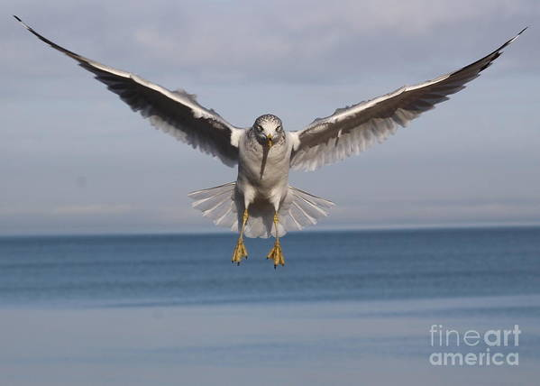 Seagull Poster featuring the photograph Incoming 2 by Lisa D'Adamo-Weinstein