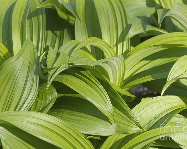 Landscape Poster featuring the photograph Indian Poke - Veratrum Veride- by Erin Paul Donovan