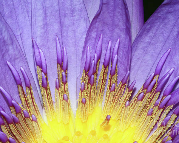 Waterlily Poster featuring the photograph Inner Glow by Judy Whitton