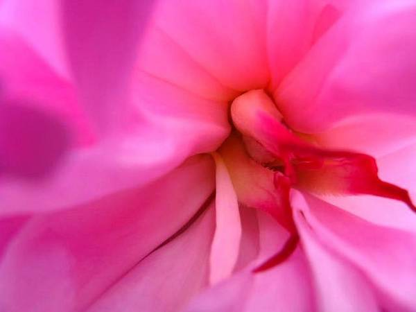 Flower Poster featuring the photograph Inside A Peony by Rhonda Barrett