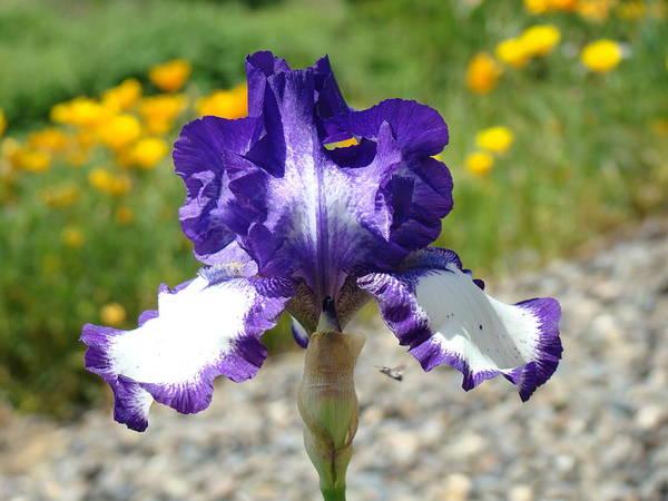 �irises Artwork� Poster featuring the photograph Iris Flower Purple White Irises Nature Landscape Giclee Art Prints Baslee Troutman by Baslee Troutman