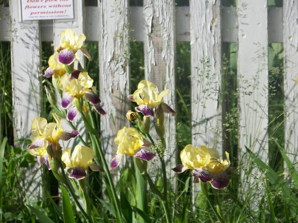 Yellow Poster featuring the photograph Irises On A Pickett Fence by Bonny Bartlett