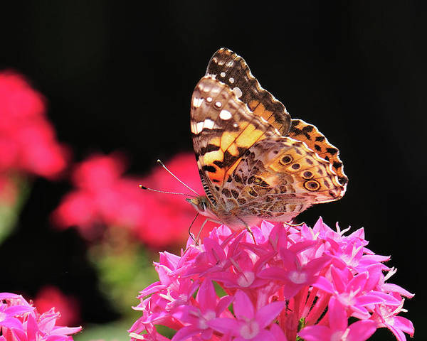 Butterfly Poster featuring the photograph Irredescent by Betty LaRue