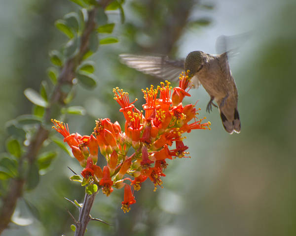 Hummingbird Poster featuring the photograph It Hums as it Eats by Richard Henne