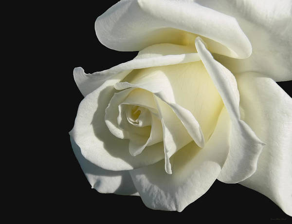 Rose Poster featuring the photograph Ivory Rose Flower On Black by Jennie Marie Schell
