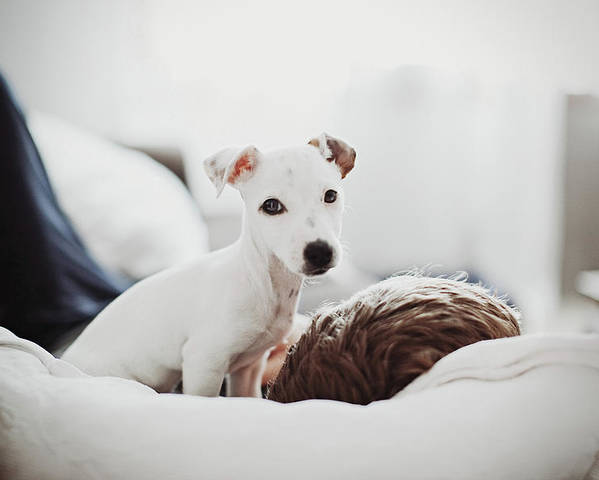 Horizontal Poster featuring the photograph Jack Russell Terrier Puppy With His Owner by Lifestyle photographer