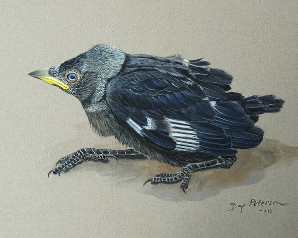 Crow Poster featuring the painting Jackdaw Baby by Dag Peterson