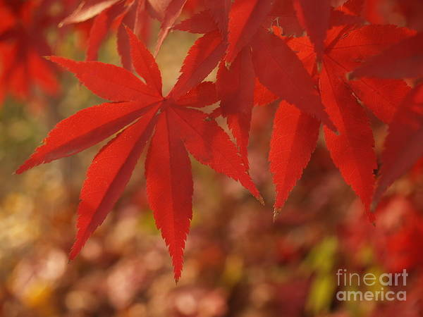 Leaf Poster featuring the photograph Japanese Maple In Afternoon by Anna Lisa Yoder