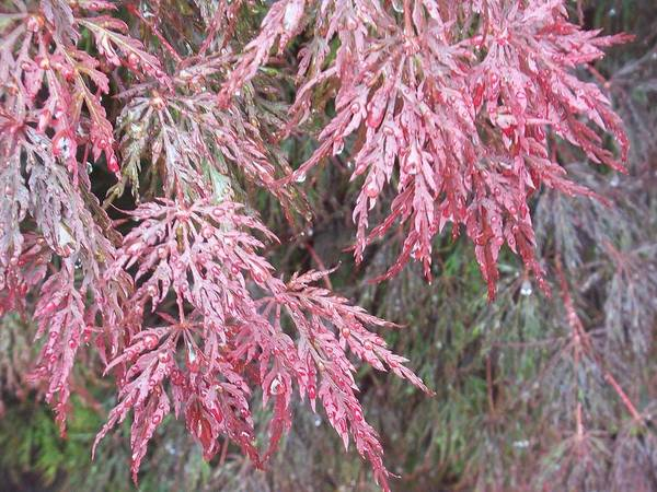 Maple Tree Poster featuring the photograph Japanese Maple In The Rain by Ellen B Pate