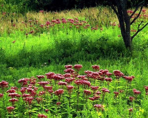 Wildflowers Poster featuring the photograph Joe Pye Weed by Roger Soule