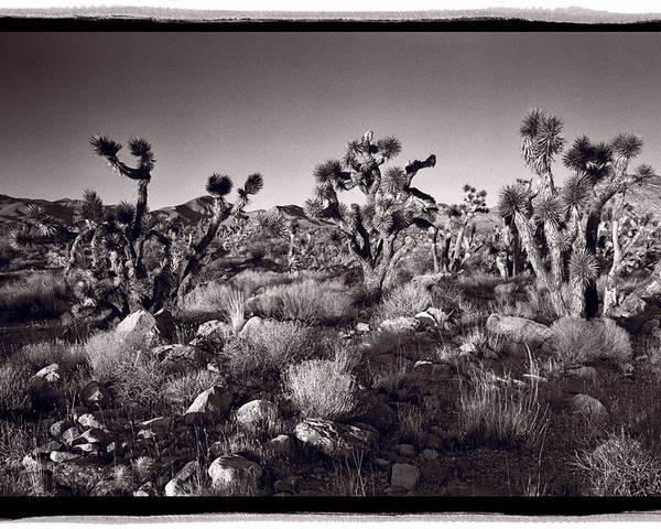 Desert Poster featuring the photograph Joshua Tree Forest St George Utah by Steve Gadomski