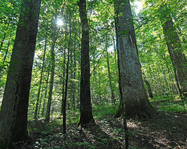 Forest Poster featuring the photograph Joyce Kilmer Forest by Alan Lenk