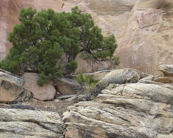 Tree Poster featuring the photograph Juniper by Ellen Leigh