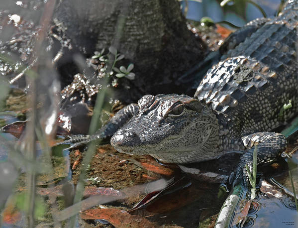 American Alligator Poster featuring the photograph Just a Baby by Sally Sperry