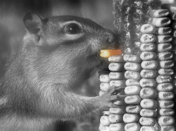 Chipmunk Poster featuring the photograph Just One More Bite by Kenneth Krolikowski