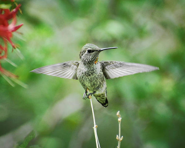 Hummingbird Poster featuring the photograph Just Spread Your Wings by Saija Lehtonen