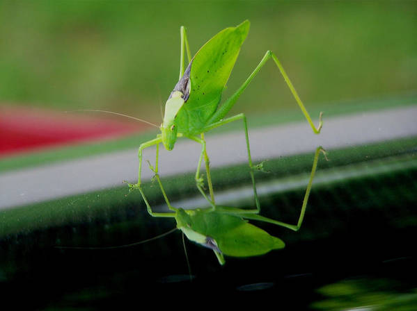 Katydid Poster featuring the photograph Katydid by Karen Scovill