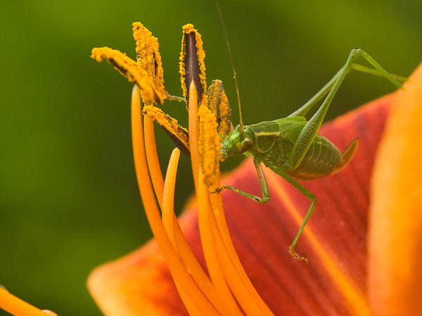 Katydid Poster featuring the photograph Katydid On Daylily by Paul R Sell Jr