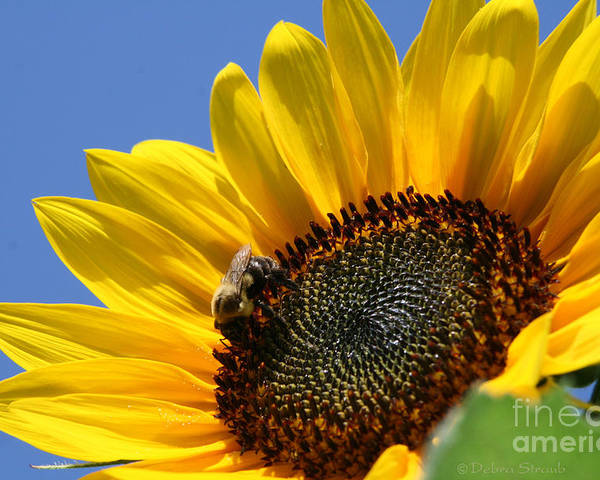Sunflower Poster featuring the photograph keep facing the Son by Debra Straub