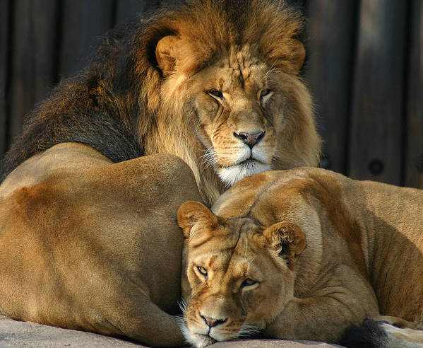 Lion Poster featuring the photograph Keeping Company by Brian M Lumley