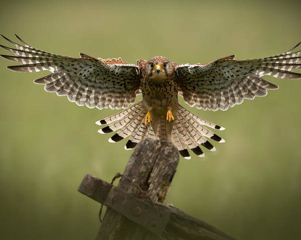 Animal Poster featuring the photograph Kestrel On Final Approach by Andy Astbury