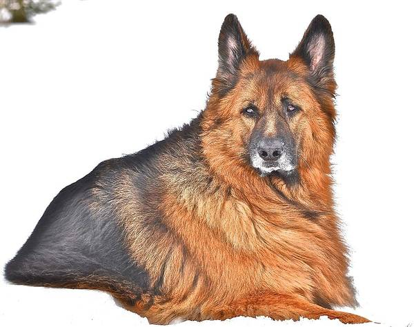German Shepherd Dog Poster featuring the photograph King Falco by Danielle Sigmon