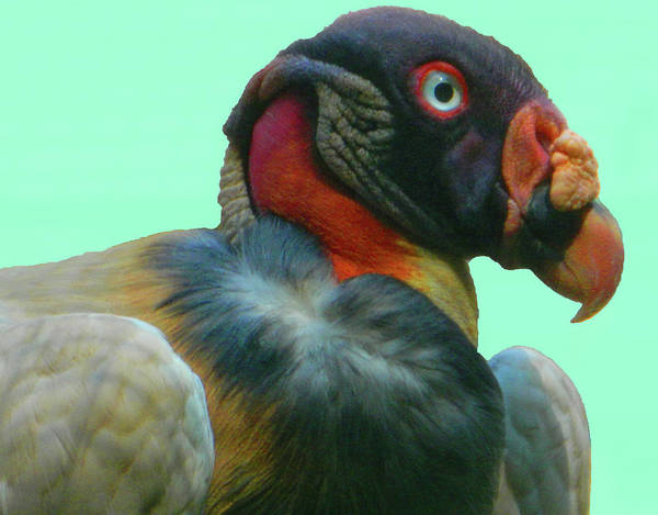 King Vulture Ii Poster featuring the photograph King Vulture II by Emmy Vickers