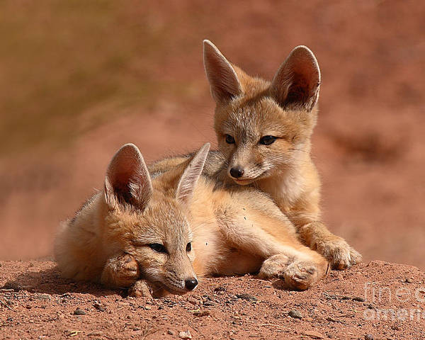 Fox Poster featuring the photograph Kit Fox Pups On A Lazy Day by Max Allen