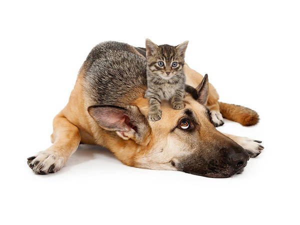 Dog Poster featuring the photograph Kitten Laying On German Shepherd by Susan Schmitz