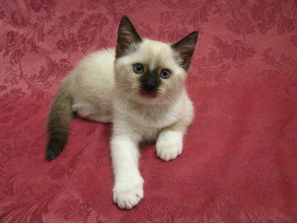 Kitten Sweet Snowshoe X Siamese X Ragdoll Blue Eyes Poster By Pamela