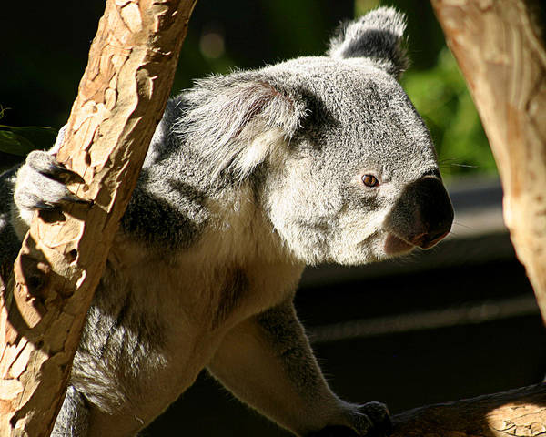 Zoo Poster featuring the photograph Koala Bear 2 by Anthony Jones