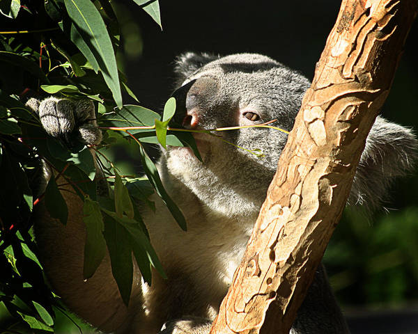 Zoo Poster featuring the photograph Koala Bear 3 by Anthony Jones