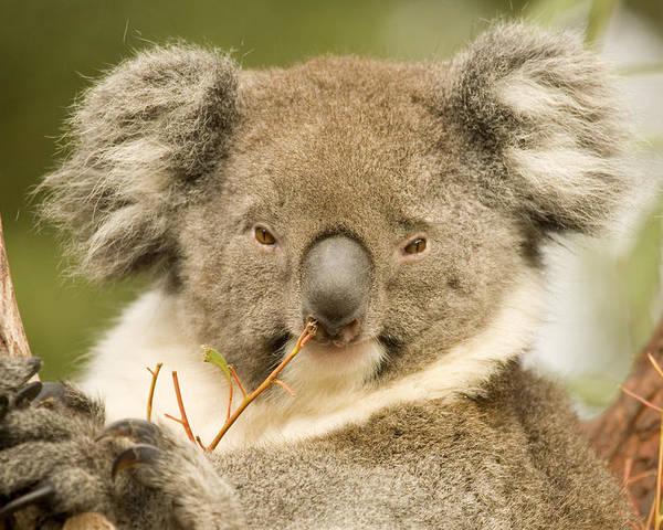 Koala Poster featuring the photograph Koala Snack by Mike Dawson