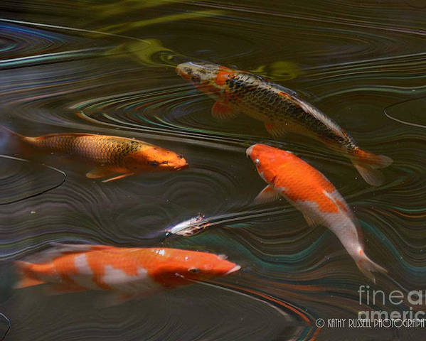 Goldfish Poster featuring the photograph Koi by Kathy Russell
