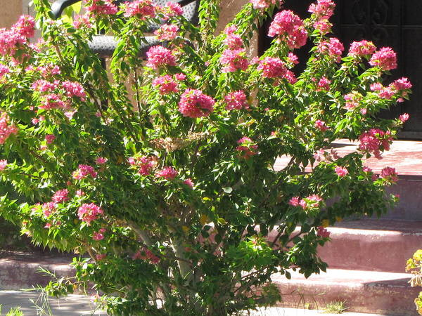 Pink Bush Poster featuring the photograph Labor Of Love by Julie Parisi
