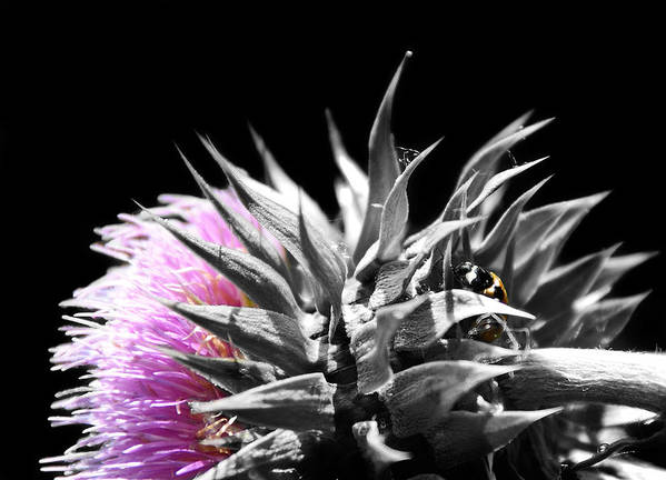 Thistle Poster featuring the photograph Lady Bug Thistle by Karl Manteuffel