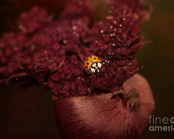 Ladybug Poster featuring the photograph Ladybug In Chocolate by ArtissiMo Photography