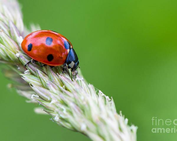 Ladybug Poster featuring the photograph Ladybug by Valerio Poccobelli