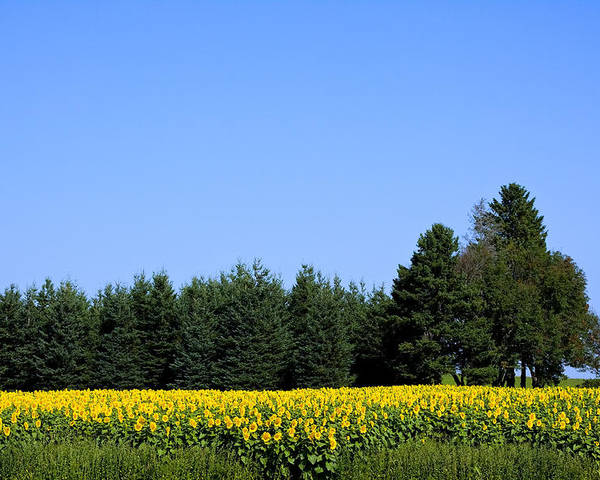 Sunflower Poster featuring the photograph Land Of Sunflowers by Gary Smith