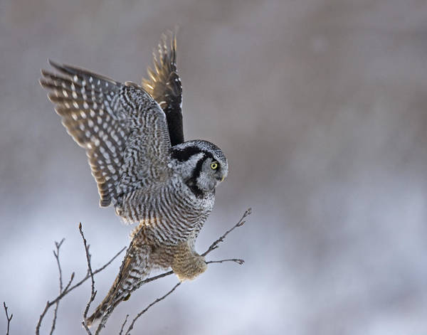 Hawk Owl Poster featuring the photograph Landing Hawk Owl by Tim Grams