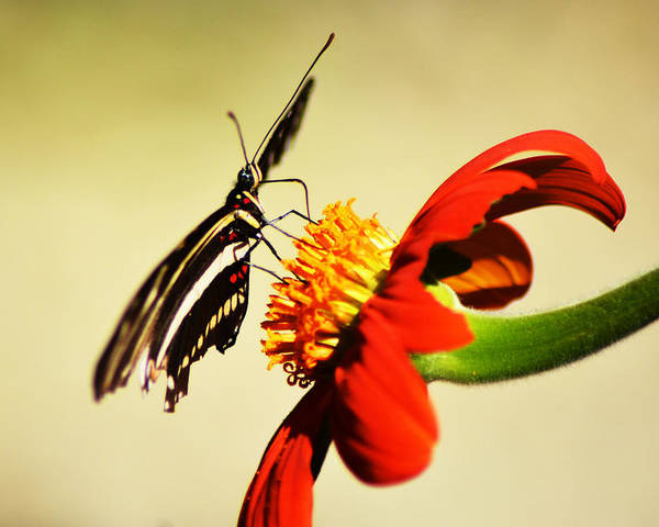 Zebra Heliconia Butterfly Poster featuring the pyrography Landing Pad by Sally Sperry