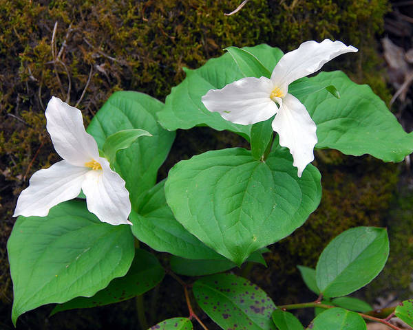 Large Flower Trillium Poster featuring the photograph Large Flower Trillium Pair by Alan Lenk