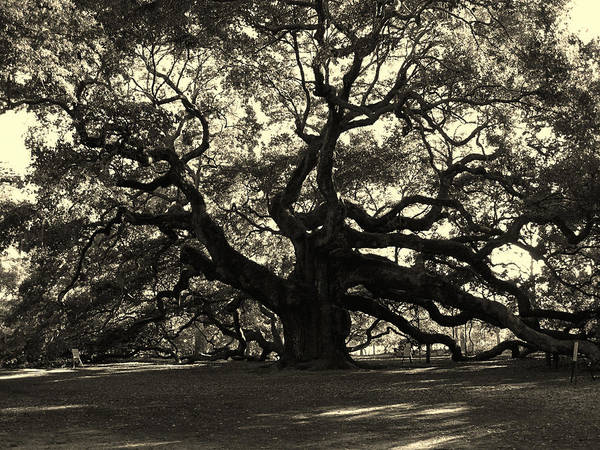 Fine Arts Poster featuring the photograph Last Angel Oak 72 by Susanne Van Hulst
