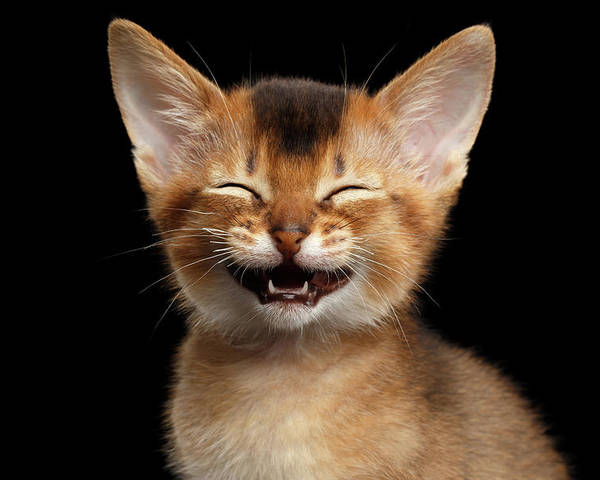Kitten Poster featuring the photograph Laughing Kitten by Sergey Taran