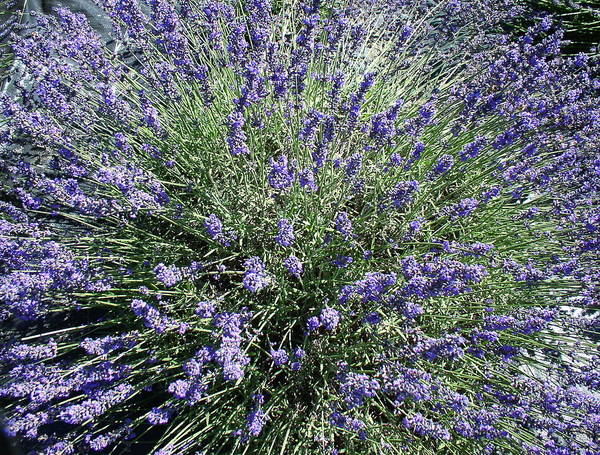 Flowers Poster featuring the photograph Lavender 2 by Valerie Josi