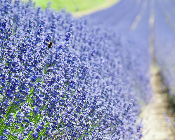 Lavender Poster featuring the photograph Lavender Blossoms by Bonnita Moaby