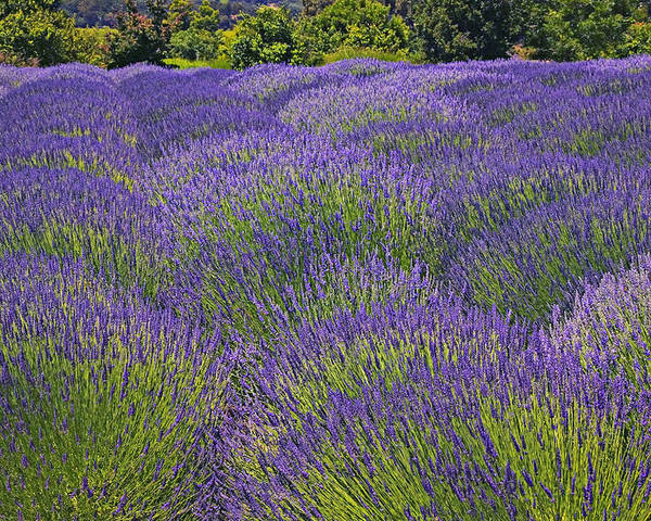Lavender Poster featuring the photograph Lavender Field by Garry Gay