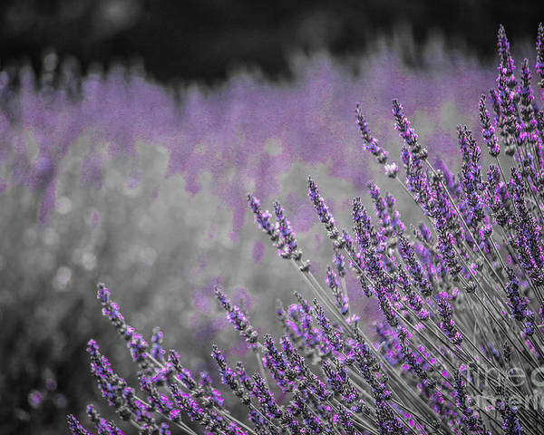 Lavendar Poster featuring the photograph Lavender Fields by Lynn Sprowl
